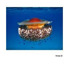 Medúza Fried egg mediterranean (Cotylorhiza tuberculata) Medúzy na prodej