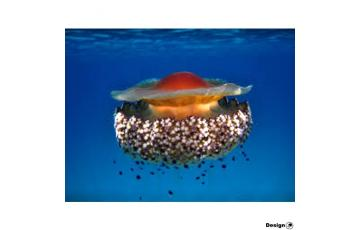 The Fried Egg Mediterranean Jellyfish (Cotylorhiza tuberculata) Jellyfish for sale