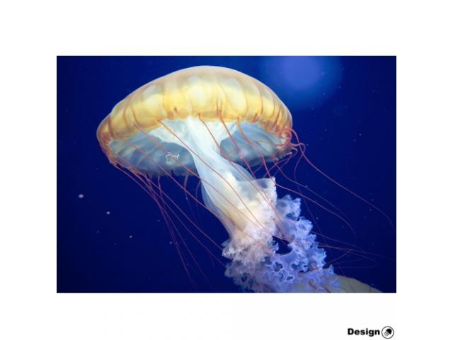 The Japanese Sea Nettle (Chrysaora pacifica) Jellyfish for sale