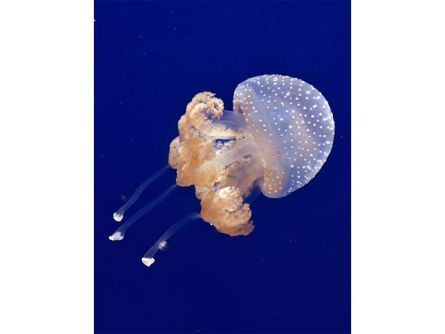 Spotted Lagoon – Jellyfish (Mastigias papua) Jellyfish for sale