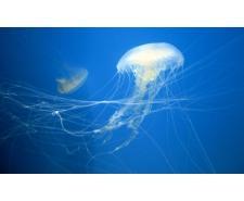 Atlantic sea nettle medúza (chrysoara quinquecirrha) Medúzy na prodej