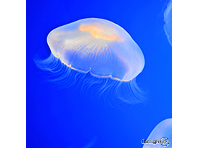 Moon Jellyfish (Aurelia aurita) – small (2-3cm) Jellyfish for sale