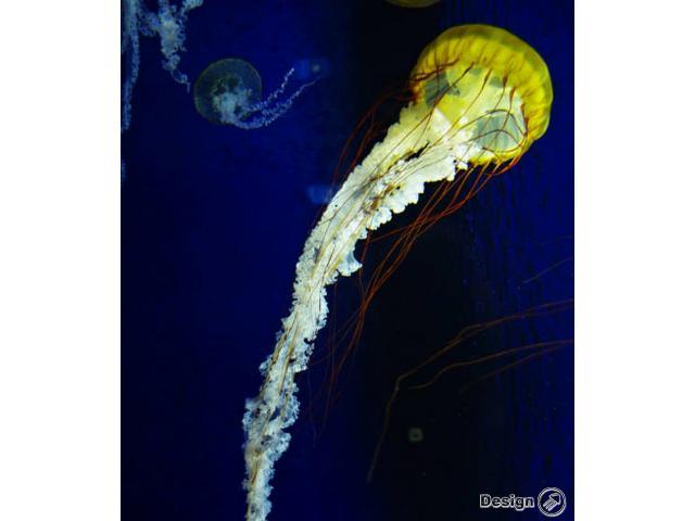 Medúza Pacific sea nettle (Chrysaora fuscescens) Medúzy na prodej