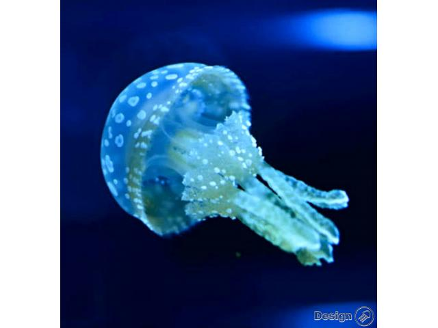 Spotted Lagoon – Jellyfish (Mastigias papua) Jellyfish for sale