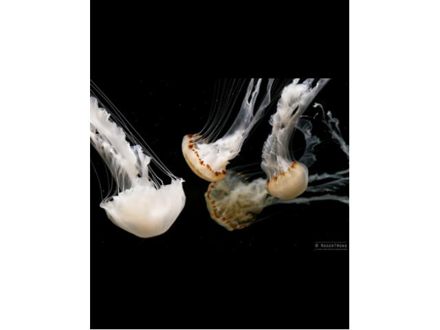 Jellyfish Malaysian sea nettle (Chrysaora Chinensis) Jellyfish for sale