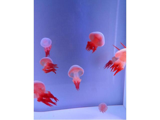 Flame medúza - Rhopilema esculentum Medúzy na predaj
