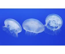 Moon Jellyfish  (Aurelia Labiata) Jellyfish for sale
