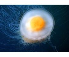 Egg yolk medúza (Phacellophora camtschatica) Medúzy na prodej