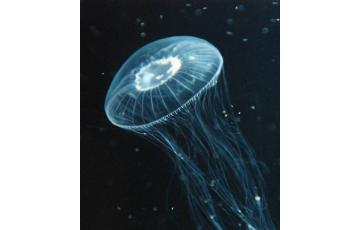 Crystal jellyfish (Aequorea coerulescens) Jellyfish for sale